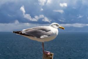 Seagull on the Irish coast.